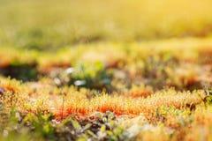 Fermez-vous du pré ensoleillé coloré de ressort, élevage d'herbe Images libres de droits