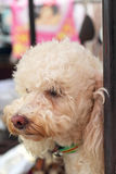 Fermez-vous du regard de chien Images stock