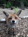 Fermez-vous du renard rouge à la forêt vierge photo libre de droits