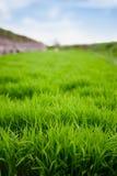Fermez-vous du riz vert Images stock