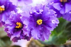 Fermez-vous du saintpaulia violet avec le bord onduleux Image stock