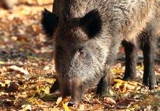 Fermez-vous du sanglier dans la forêt d'automne photo stock