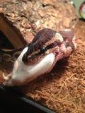 Fermez-vous du serpent de python de boule mangeant une souris Photographie stock libre de droits