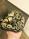 Fermez-vous du serpent en pastel de python de boule de fantôme étant tenu Photographie stock