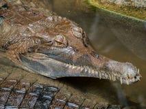 Fermez-vous du siamensis siamois de Crocodylus de crocodile photographie stock