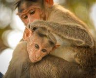 Fermez-vous du singe indien de bébé de Macaque de capot se reposant avec sa mère photos stock