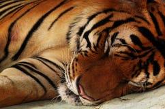 Fermez-vous du tigre se trouvant en dormant vers le bas image stock