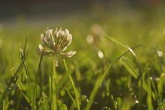 Fermez-vous du tréfle blanc dans un pré vert Photographie stock