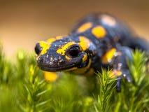 Fermez-vous du triton de salamandre de feu dans son habitat naturel Images stock