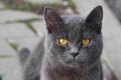 Fermez-vous du visage britannique d'en de chat de shorthair photos libres de droits