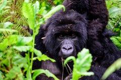 Fermez-vous du visage d'un gorille de montagne de mère Images stock