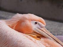 Fermez-vous du visage d'un pélican rose dans les paphos hébergent en Chypre Image libre de droits