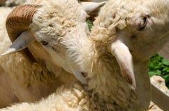 Fermez-vous du visage de moutons blancs dans le jardin l'après-midi ensoleillé Photographie stock libre de droits