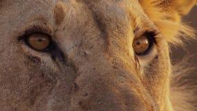 Fermez-vous du visage du lion femelle dans le bushveld africain, désert de Namib, Namibie images libres de droits