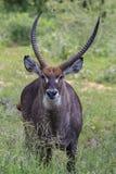 Fermez-vous du waterbuck solitaire dans le domaine d'herbe verte photo libre de droits