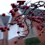 Fermez-vous du Web du ` s d'araignée pendant de l'arbre rouge de pomme sauvage en automne Photo libre de droits