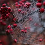 Fermez-vous du Web du ` s d'araignée pendant de l'arbre rouge de pomme sauvage en automne Images libres de droits