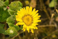 Fermez-vous du wildflower de Grindelia, la Californie Images stock
