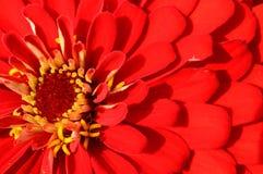 Fermez-vous du zinnia rouge Image libre de droits