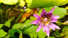 Fermez-vous et brouillez le vol et les abeilles d'abeille de miel de fond rassemblant le pollen dedans profondément du nénuphar p image stock