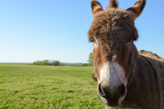 Fermez-vous et dirigez le tir de l'âne Image stock