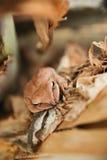 Fermez-vous et focalisez la grenouille d'arbuste, leucomystax de Polypedates, grenouille d'arbre/type de brouillard en nature Images stock