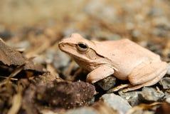 Fermez-vous et focalisez la grenouille d'arbuste, leucomystax de Polypedates, grenouille d'arbre/type de brouillard en nature Photographie stock
