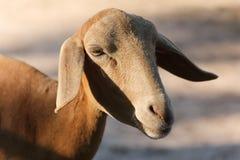 Fermez-vous jusqu'au visage de l'agneau dans la ferme Photographie stock