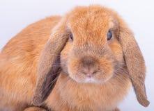 Fermez-vous jusqu'au visage de peu de lapin brun avec de longues oreilles sur le fond blanc images libres de droits