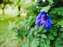 Fermez-vous le long du ternatea bleu de Clitoria de fleurs de pois pourpre photo libre de droits