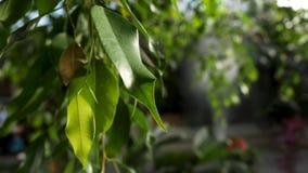 Fermez-vous pour de belles feuilles vertes d'un arbre avec une machine arrosant les usines sur le fond, concept de jardinage clips vidéos