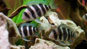 Fermez-vous pour des poissons de Cichlid de frontosa nageant dans l'aquarium d'eau douce, concept unique de cr?atures Vue Beau bl photo libre de droits