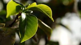 Fermez-vous pour les plantes vertes arrosant en serre chaude Baisses de l'eau tombant sur les feuilles vertes dans le potager photos stock