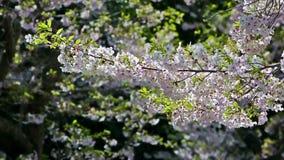 Fermez-vous sur des fleurs de cerisier le long de la rue banque de vidéos