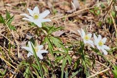 Fermez-vous sur des fleurs thimbleweed ou windflower ?galement appel? d'une an?mone de Japonais ?levage dans la for?t photo libre de droits