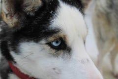 Fermez-vous sur des yeux bleus d'un chien enroué Photographie stock libre de droits