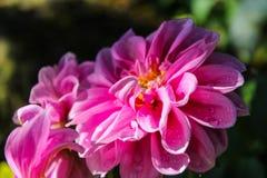 Fermez-vous sur la fleur de Mona Lisa, la fleur rose, fleur de ressort avec le wa Images libres de droits