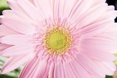 Fermez-vous sur la fleur rose fraîche de gerbera. Photographie stock libre de droits