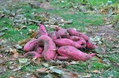 Fermez-vous sur la récolte de patate douce avec Autumn Leaves Background Photo libre de droits