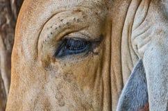 Fermez-vous sur la vache à oeil Images libres de droits
