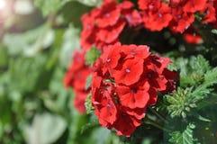 Fermez-vous sur la verveine Floraison rose de Hybrida de verveine photographie stock