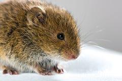 Fermez-vous sur la vue de côté de champ de souris d'ï de ½ brun sauvage de ¿ Photographie stock