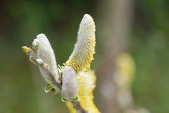 Fermez-vous sur le hookeriana de Salix de chatons Photos libres de droits