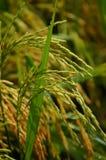 Fermez-vous sur le riz non-décortiqué Photos stock