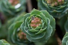 Fermez-vous sur le ssp de rosea de Rhodiola Rosea Rhodiola Arctica Image libre de droits