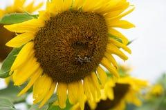 Fermez-vous sur le tournesol polinated par des abeilles photos stock
