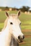 Fermez-vous sur le visage et les yeux de cheval Photographie stock libre de droits