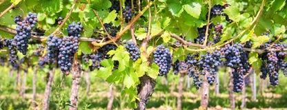 Fermez-vous sur les raisins noirs rouges dans un vignoble, fond panoramique, récolte de raisin image libre de droits