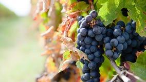Fermez-vous sur les raisins rouges dans un vignoble dans le short de fin d'été avant récolte images libres de droits