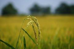 Fermez-vous sur un gisement de riz non-décortiqué Image stock